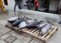 Ortona: sequestrati 250 Kg di tonni rossi e pesci spada al porto