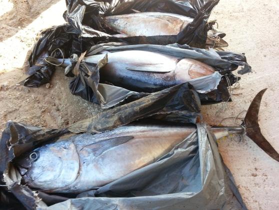 Pescara, sequestrati tre tonni rossi per 200 chili
