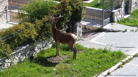 Opi, cucciolo di cervo a caccia di un nome