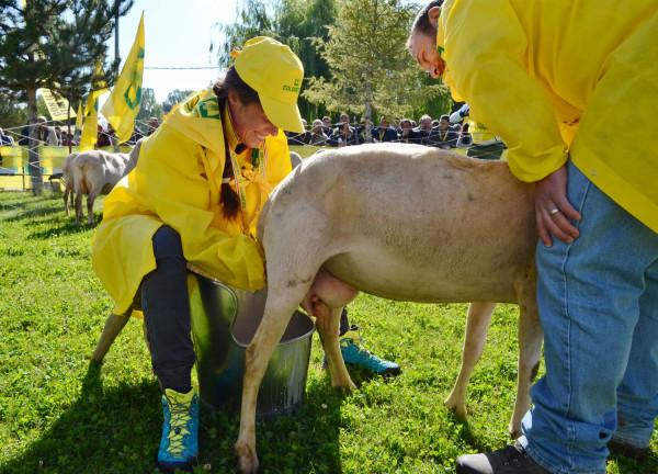 Pecora Day a L'Aquila: Ovini assunti come tosaerba dal Comune