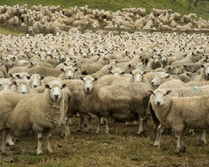 Tratturi ostruiti, pastori multati per deiezioni pecore