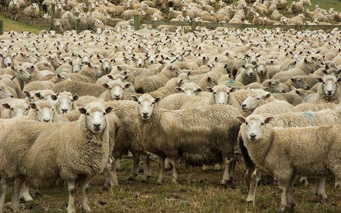 pecore111