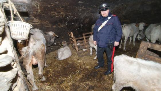 Allevamenti bovini lager, sequestri dei Nas