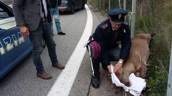 Cervo su A14: l'animale ferito soccorso dalla Polstrada