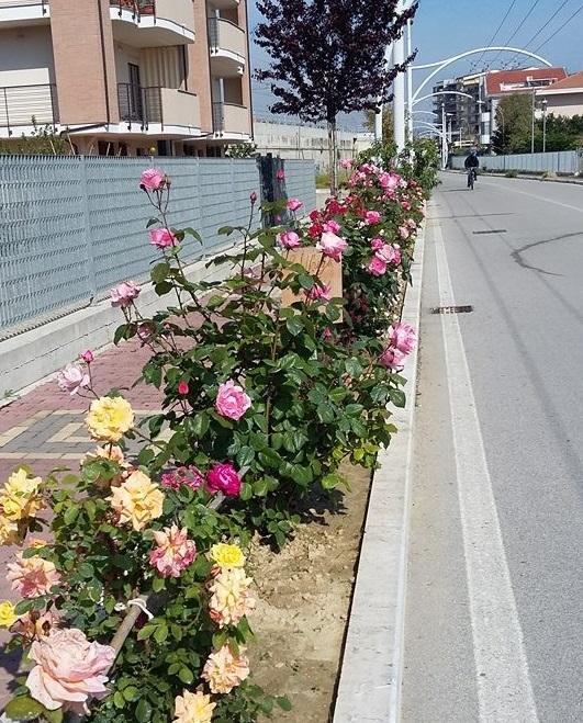 Ex camionista coltiva sue rose su Strada Parco