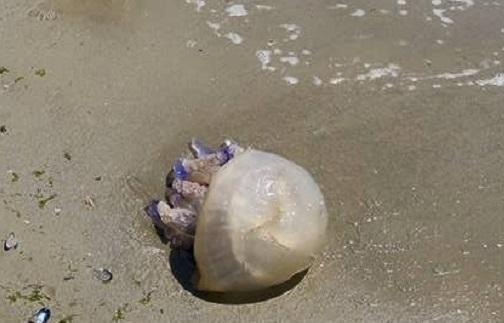 Martinsicuro, medusa da cinque chili in spiaggia!