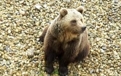 L'orsa Amarena alla festa a San Sebastiano dei Marsi
