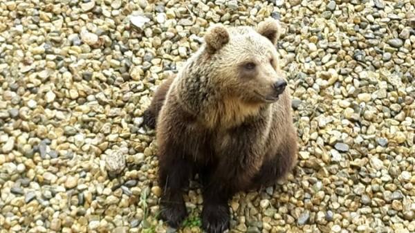 """Parco Maiella: due """"amiche"""" per orsa Caterina"""