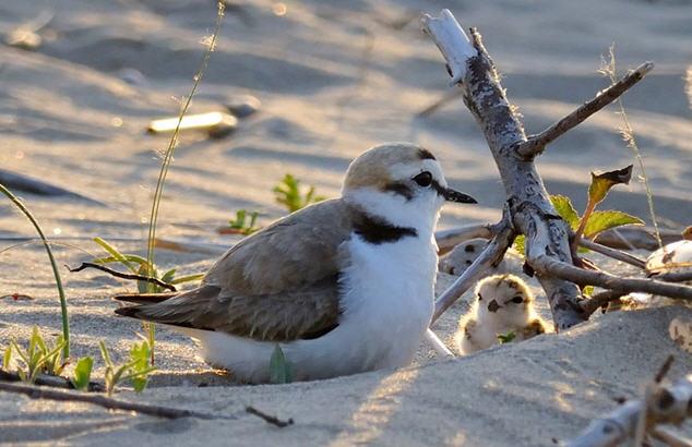 uccello-fratino