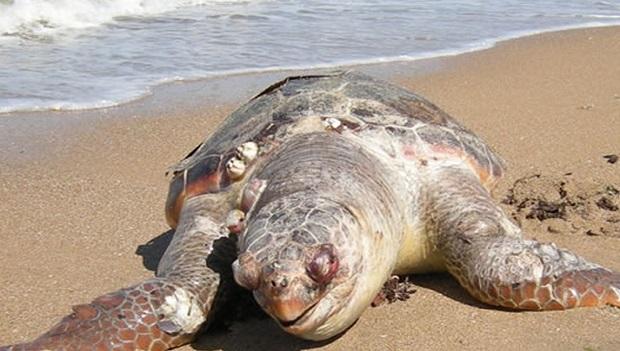 Tre tartarughe morte sulla costa abruzzese