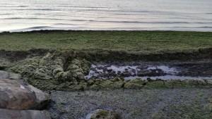 alghe 1