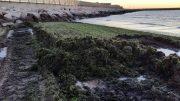 alghe-spiaggia-pe