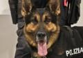 Roseto: cane poliziotto fiuta droga in birreria