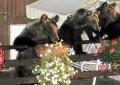 L'orsa Gemma a spasso per Scanno