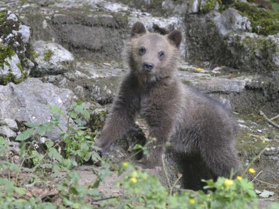 Pnalm: trovata morta l'orsetta Morena