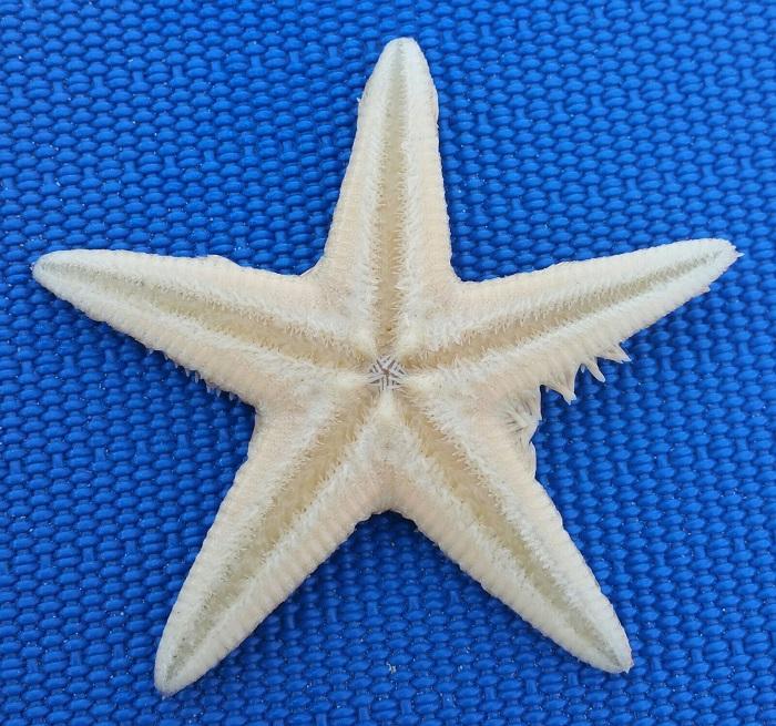 "Pescara: stella marina ""passeggia"" in spiaggia (Video)"