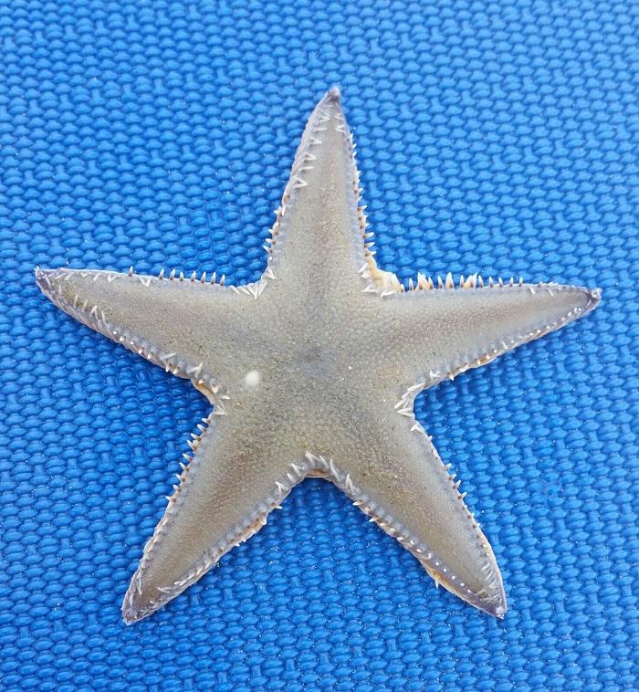 stella marina1