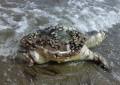 Montesilvano: tartaruga morta in riva al mare