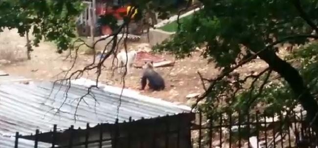 Collelongo: orso in orto per magiare carote, cane dà l'allarme