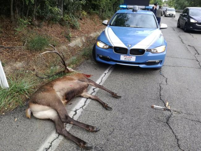 Cervo investito e ucciso nei pressi del casello della A14