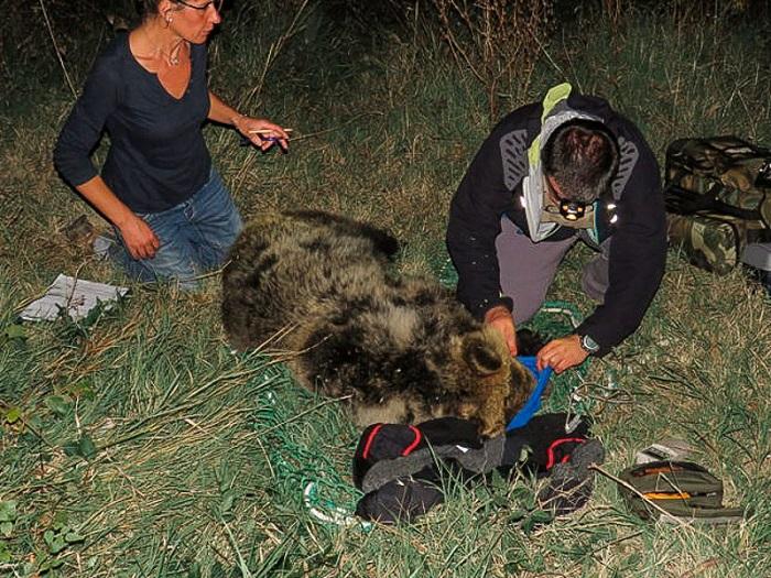 Pnalm: radiocollare per l'orso di San Sebastiano