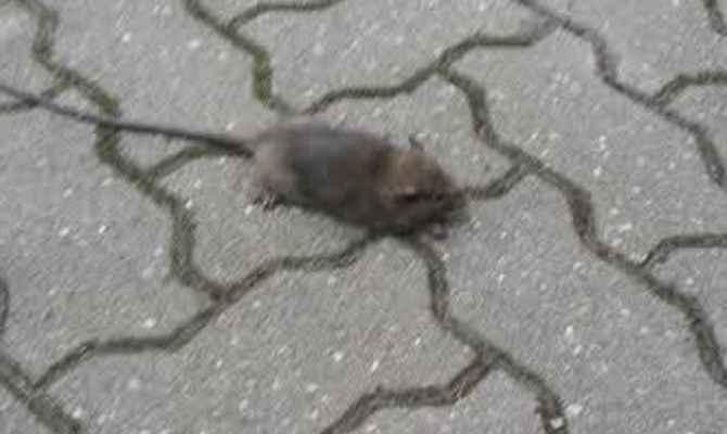Topi in giro a Chieti Scalo