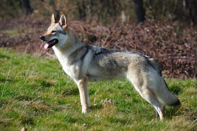 Sulmona: cani scambiati per lupi in visita ad un hotel