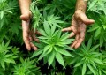 Montesilvano: coltivava cannabis nell'orto,denunciato
