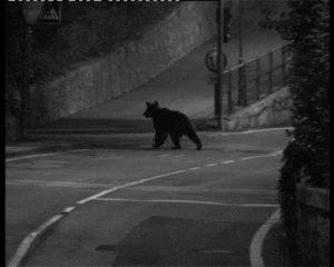 Danni da orso in Abruzzo, la legge c'è ma non si vede
