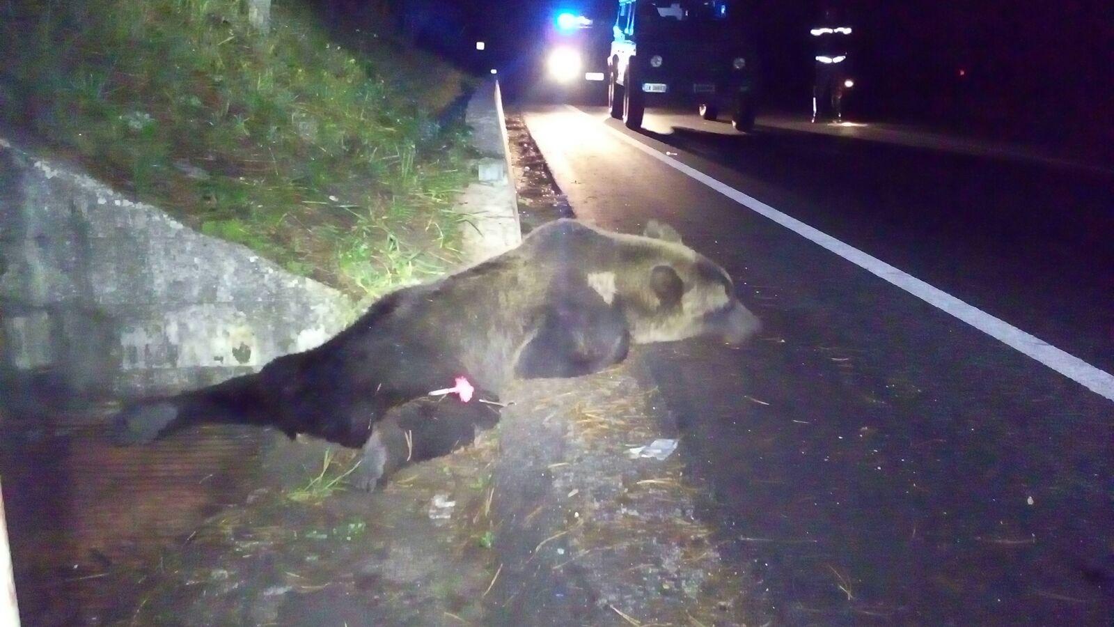 E' morto l'orso investito a Roccaraso