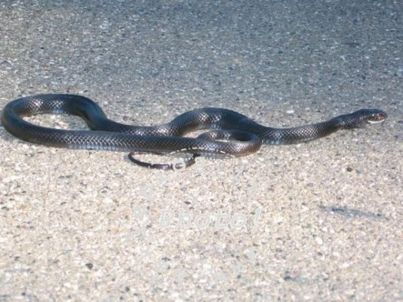 Montesilvano: banca chiusa per un serpente