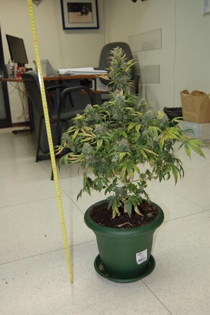 Teramo pianta di marijuana in salotto for Pianta da salotto