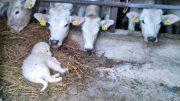 cucciolo con i vitelli