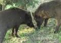 Tar sui cinghiali in Abruzzo: ok all'abbattimento selettivo