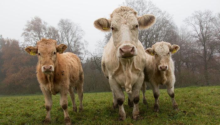 chieti-vendono-mucche-online-truffati