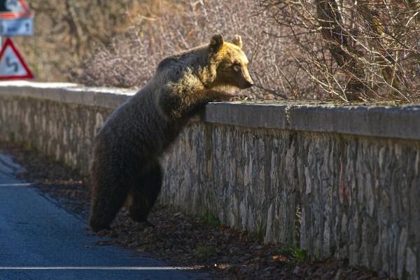 Razzie di orsi a Ortucchio. Denuncia per bocconi avvelenati