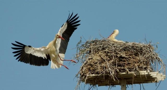 Nascite d'autunno, le cicogne preferiscono Pescara