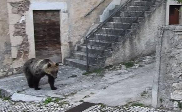 Sulmona, l' orsa Peppina arriva alle porte della città