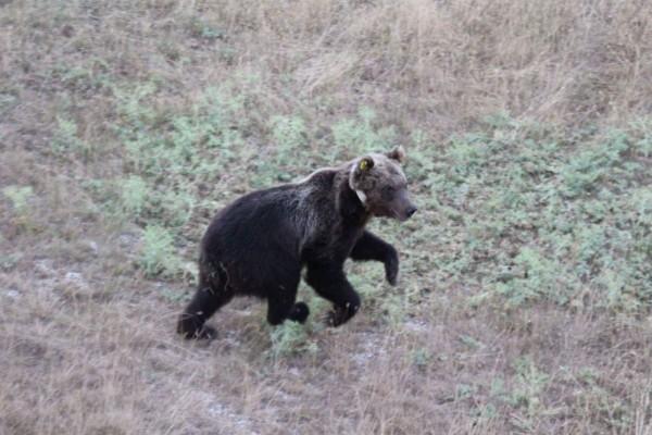 Pescasseroli: l'orso Mario va a trovare Yoga