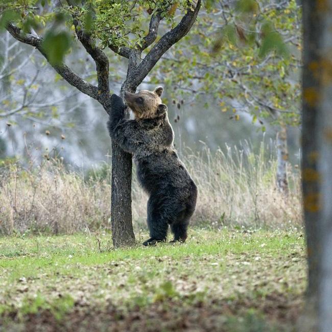 Abruzzo: un protocollo per convivere con gli orsi in…strada