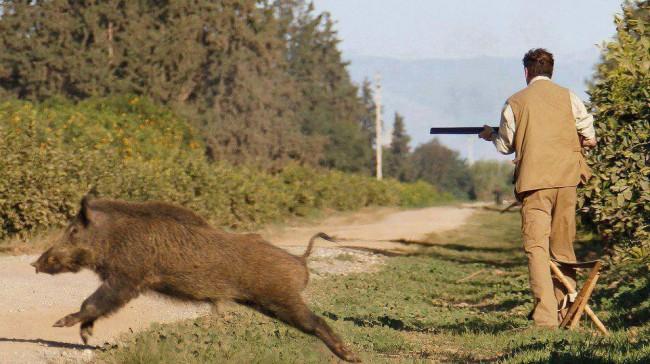 L'Aquila: spara al cinghiale che lo aggredisce, é grave