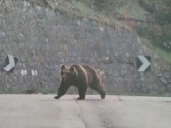 Cocullo: l'orsa Amarena avvistata sull'autostrada