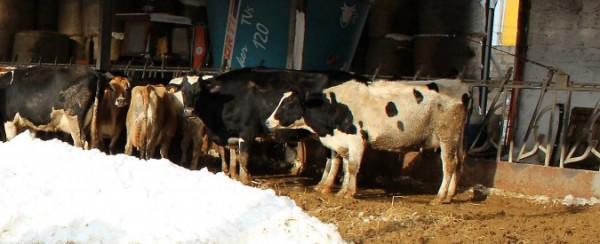 Calamità Castelli: 850 mila euro all'azienda zootecnica