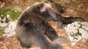 orso-ucciso11
