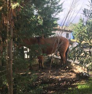 cavallo forestale