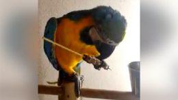 pappagallo-arrosticini11
