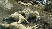 pecore-morte1